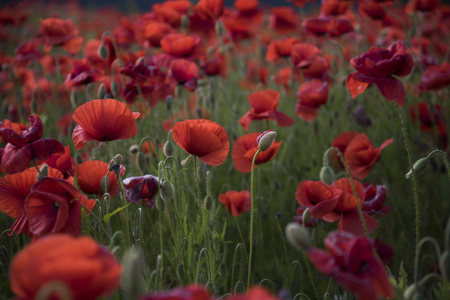 Flowers Red poppies blossom on wild field. Beautiful field red poppies with selective focus. Red poppies in soft light. Opium poppy. Natural drugs.
