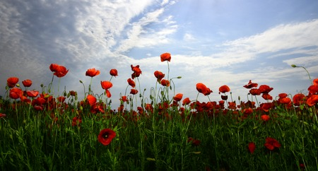Summer and spring, landscape, poppy seed. spring and summer season, poppy flower, narcotics Stock Photo