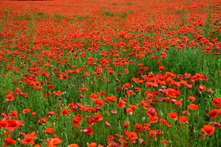 Remembrance day, Anzac Day, serenity. Opium poppy, botanical plant, ecology. Summer and spring, landscape, poppy seed. Poppy flower field, harvesting. Drug and love intoxication, opium, medicinal.