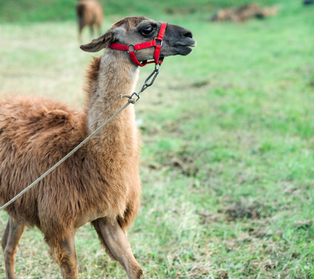 Llama with brown wool on natural background, zoo. Pack animal, alpaca. Farm, animal farming, agriculture, domestic livestock breeding. captivity