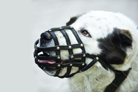 Protection, safety, restriction concept. Dog wear leather muzzle. Pet, domestic animal. Stock Photo - 98805931