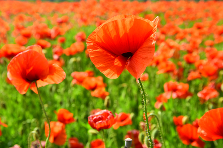 Remembrance day, Anzac Day, serenity. Opium poppy, botanical plant, ecology. Summer and spring, landscape, poppy seed. Drug and love intoxication, opium, medicinal. Poppy flower field, harvesting.