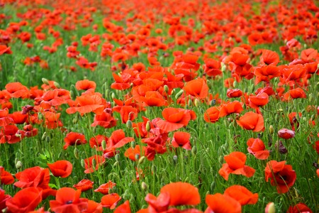 Opium poppy, botanical plant, ecology. Drug and love intoxication, opium, medicinal. Poppy flower field, harvesting. Remembrance day, Anzac Day, serenity. Summer and spring, landscape, poppy seed.