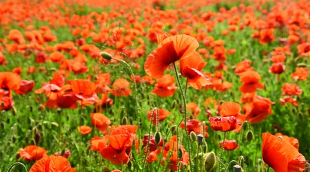 Remembrance day, Anzac Day, serenity. Drug and love intoxication, opium, medicinal. Summer and spring, landscape, poppy seed. Opium poppy, botanical plant, ecology. Poppy flower field, harvesting.