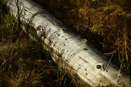 Log lies in dry grass and is illuminated by sun, autumn landscape. Old tree without bark lies. Nature concept. Imagens