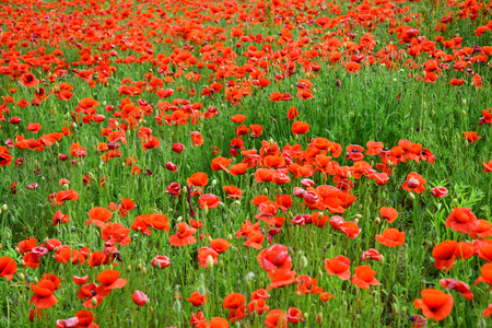 Remembrance day, Anzac Day, serenity. Summer and spring, landscape, poppy seed. Drug and love intoxication, opium, medicinal. Opium poppy, botanical plant, ecology. Poppy flower field, harvesting.