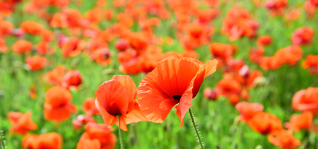 Summer and spring, landscape, poppy seed. Poppy flower field, harvesting. Remembrance day, Anzac Day, serenity. Opium poppy, botanical plant, ecology. Drug and love intoxication, opium, medicinal. 版權商用圖片 - 96841627