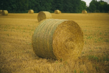 Hay bale dry on field, agriculture. Hay rolled on cut grass, fodder. 스톡 콘텐츠
