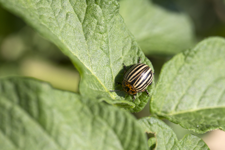 Colorado potato beetle, harvest. Colorado potato beetle on leaf