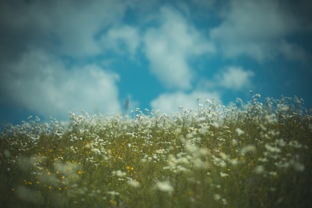 Blossoming flower field, spring. Spring chamomile field, natural herbal treatment. Alternative medicine, beautiful nature scene. Chamomile flower, nature and environment. Summer vacation, nature, spa. Stock Photo