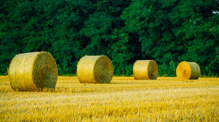 Round straw bales on field. Summer landscape. 版權商用圖片