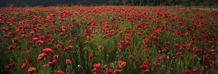 Poppy flower field, harvesting. poppy seed flower in field, narcotics