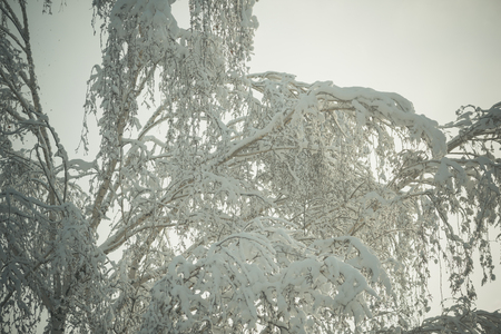 Tree covered with snow with light sky on background. Winter and nature concept. Branches with lot of snow on frosty winter day. Winter nature scenery with birch tree covered with snow. Stock Photo