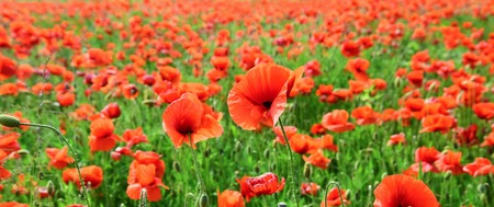 Poppy flower field, harvesting. Summer and spring, landscape, poppy seed. Opium poppy, botanical plant, ecology. Drug and love intoxication, opium, medicinal. Remembrance day, Anzac Day, serenity.