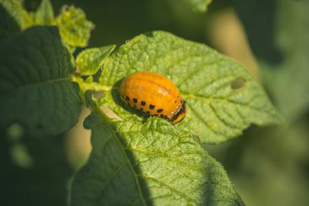 Colorado beetle larva close-up on foliage of potato in nature