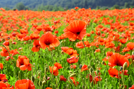 Poppy flower field on a sunny day. Symbolic of Remembrance day, Anzac Day, serenity. Archivio Fotografico