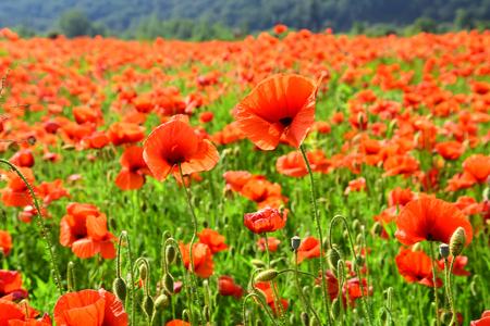 Mohnblumenblumenfeld an einem sonnigen Tag. Symbolisch für Gedenktag, Anzac Day, Gelassenheit.