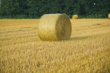 Hay bale dry on field, agriculture. Haylage rolled on cut grass, fodder.