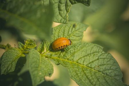 Colorado larva on potato leaf. Colorado larva eat potato leaf