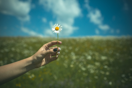 Chamomile flower in hand, nature, environment.