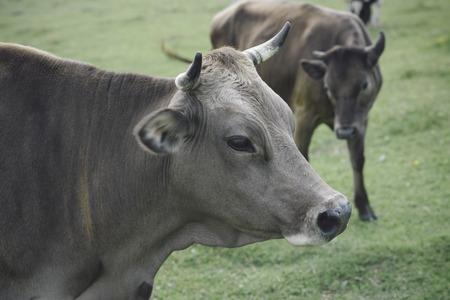 시골 목초지, 생태에 암소. 한숨, 목초지 및 생태 소 스톡 콘텐츠