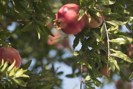 Garnet apple tree also known as pomegranate with fresh fruit. Ripe grenade apple on branch with green leaves. Red mellow garnet on the branch. Fresh fruit concept.