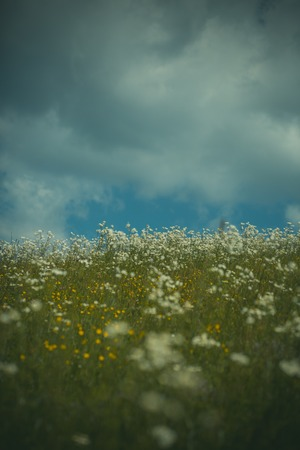 Marguerite, chamomile field, spring. summer flowers and sunny blue sky Stok Fotoğraf