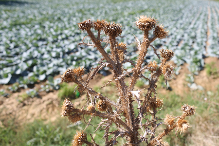 Dried flower of burdock with cabbage field on background, defocused. Problem in planting, agriculture, using pesticides. Plant with spines, weed grass, wild grass. Wild grass concept.