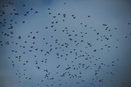 Migratory birds concept. Black birds or crows in dark sky. Many small birds fly high in gloomy fall sky with clouds on background. Birds fly to warmer lands.