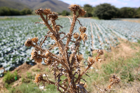 Dried flower of burdock with cabbage field on background, defocused. Plant with spines, weed grass, wild grass. Wild grass concept. Problem in planting, agriculture, using pesticides. Archivio Fotografico - 99961884