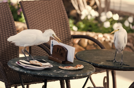 Birds steal pizza leftovers from table in outdoor cafe. Food, forage, feed. Nature, animal, fauna, wild life, ecology, natural environment concept