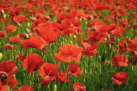 Remembrance day, Anzac Day, serenity. Opium poppy, botanical plant, ecology. Poppy flower field, harvesting. Summer and spring, landscape, poppy seed Drug and love intoxication opium medicinal