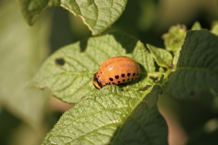 Colorado beetle larva on potato leaf.