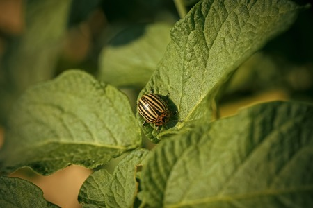 Colorado potato beetle, harvest.