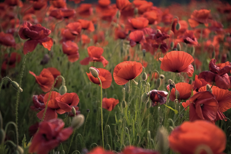 Flowers Red poppies blossom on wild field.