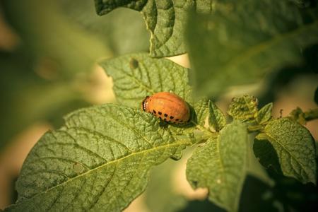 Colorado beetle larva on potato leaf.