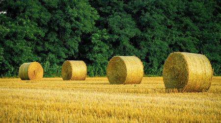 Round straw bales on field