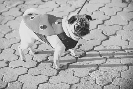 Dog or pugdog in red coat walk on pavement Фото со стока