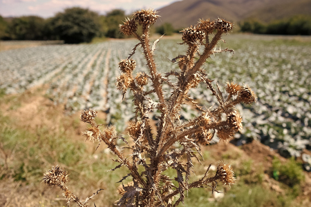 Dried flower of burdock with cabbage field on background, defocused. Plant with spines, weed grass, wild grass. Wild grass concept. Problem in planting, agriculture, using pesticides