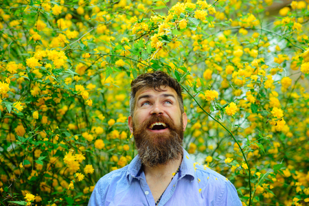 Man with excited expression and long beard walking in blooming garden with yellow flowers, happiness concept. Male bearded florist having fun in his orchard. Bearded man enjoying day in countryside.