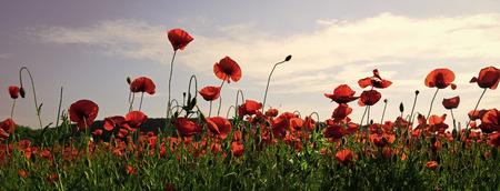 Opium poppy, botanical plant, ecology. opium drug and love