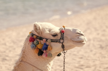 Desert transport, travelling, travel. Summer vacation concept. Camel animal head decorated with pompoms