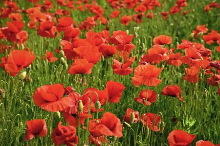 Intoxicación por drogas y amor, opio, medicinal. Verano y primavera, paisaje, semilla de amapola Día del recuerdo Día de Anzac serenidad Amapola de opio, planta botánica, ecología