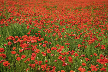 Poppy flower field, harvesting Drug and love intoxication opium medicinal Remembrance day, Anzac Day, serenity.