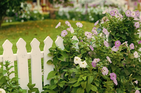 garden with beautiful violet flowers near white wooden fence Stock Photo