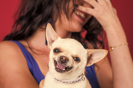 Chihuahua dog smiling in female hands