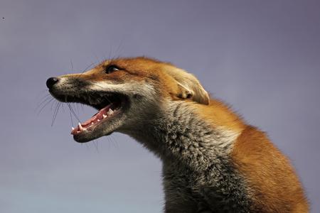 cute fox or dog pet. Reklamní fotografie
