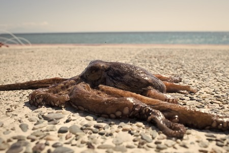Octopus on rocky beach near sea, ocean. Dark octopus out of water. Tentacles of octopus lie on pebbles on sunny summer day. Octopus taken out of the sea after storm.