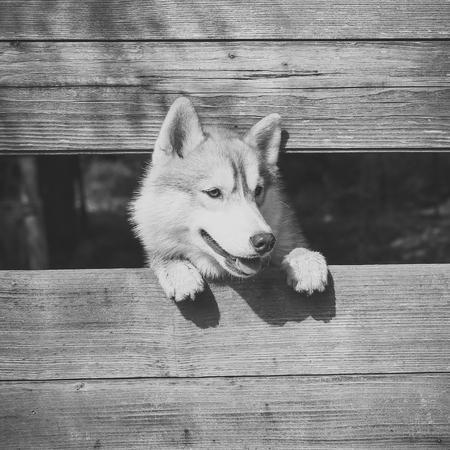 Husky or wolf at wooden background, copy space. Reklamní fotografie