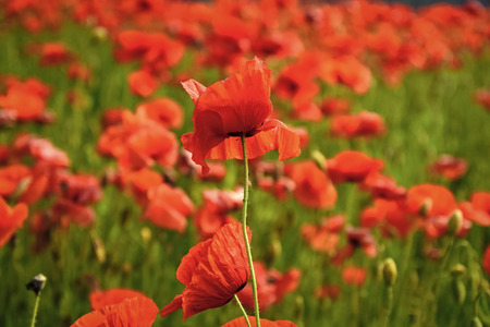 Summer and spring, landscape, poppy seed. Stock Photo
